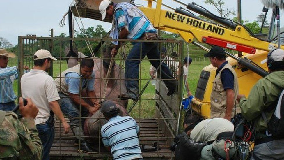 A group of workers help transport a sedated hippo in Colombia for castration