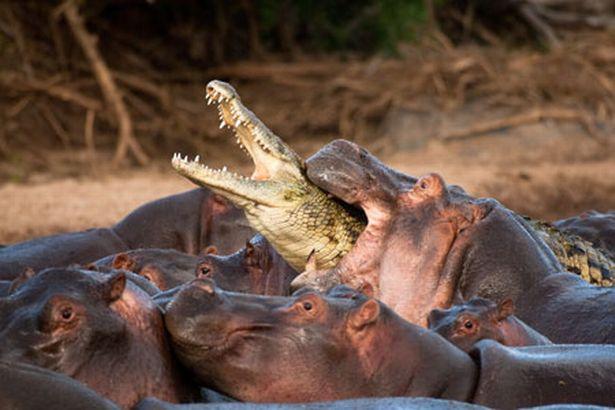 Vaclav Silha - Hipopótamo atacando crocodilo