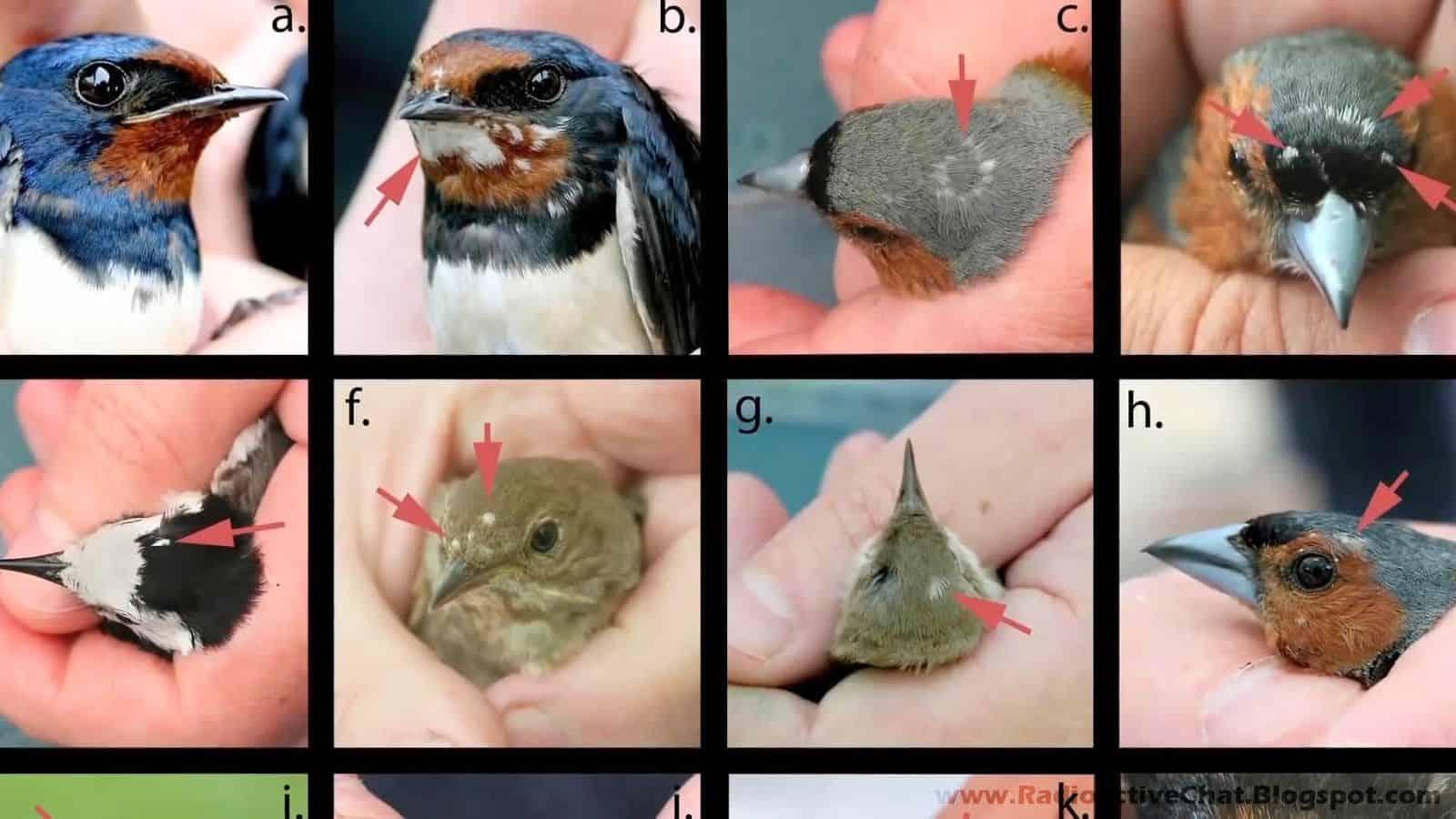 Resultado de imagem para chernobyl birds