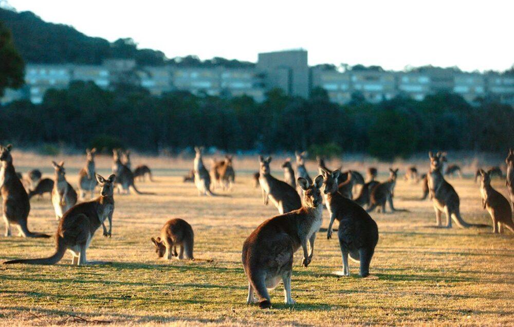 Kangaroos NPX427449 280