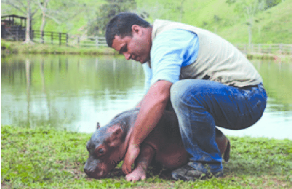 Orphan hippo (Hippopotamus amphibius) born at Hacienda Nápoles in Puerto Triunfo (Antioquia), Colombia . Photo: Explora Films