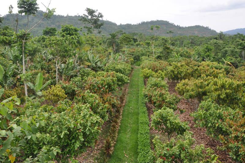 csm cacao agroforestry chita ivan c45df95cf6