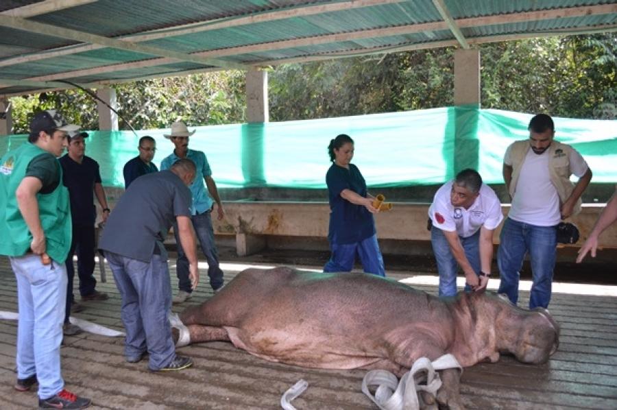 Hipopótamo sendo castrado