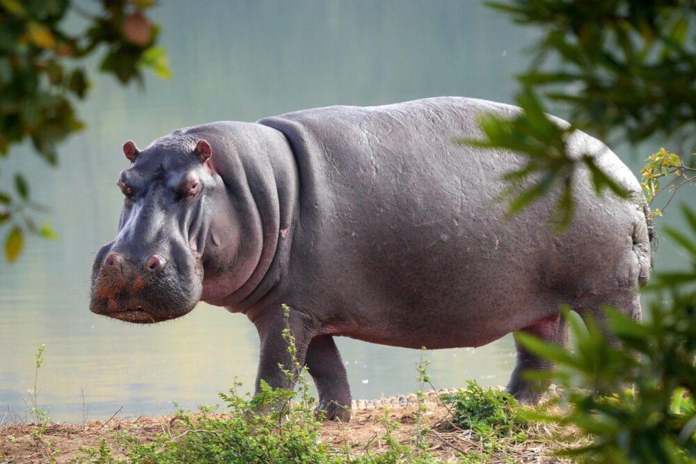 Hipopótamo em um rio da Colômbia