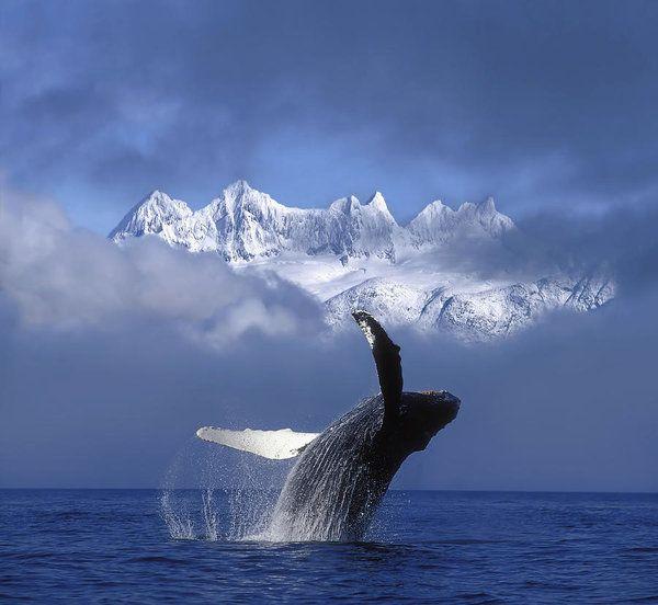 humpback whale breaches in clearing fog john hyde