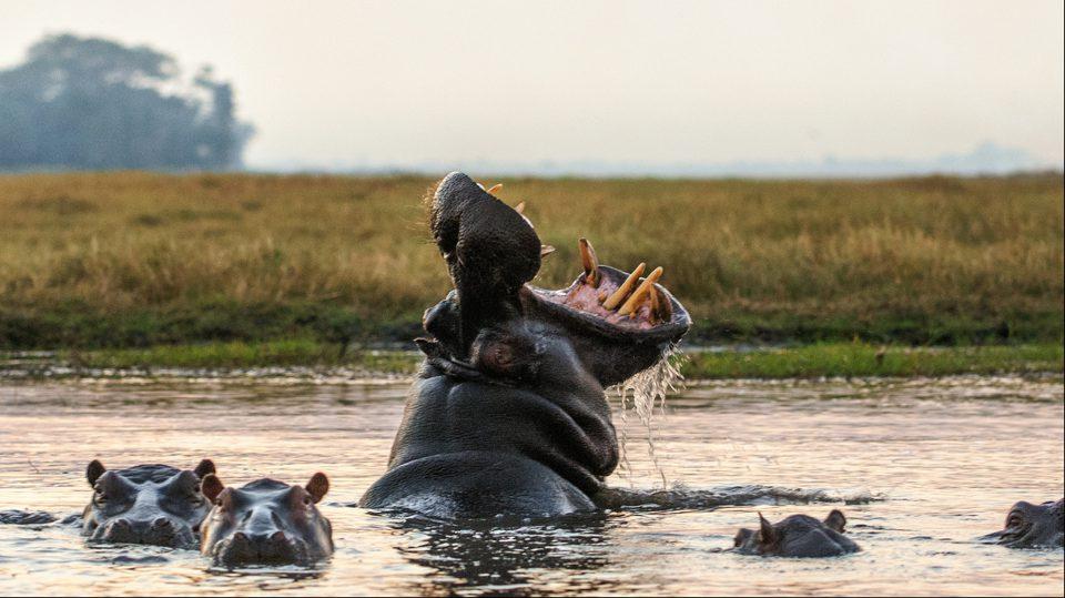 Hipopótamos de Escobar