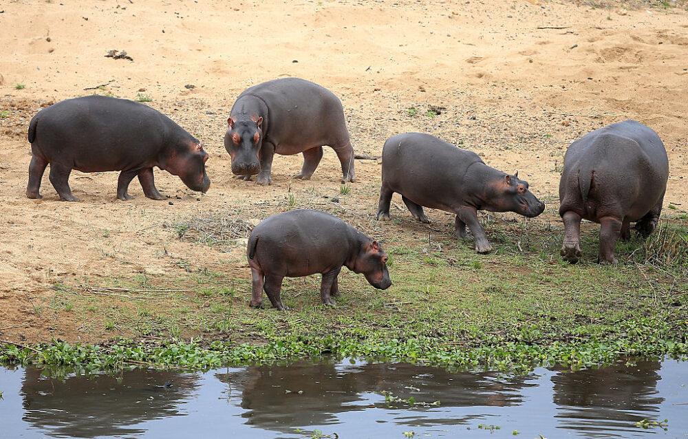 Resultado de imagem para colombia hippo
